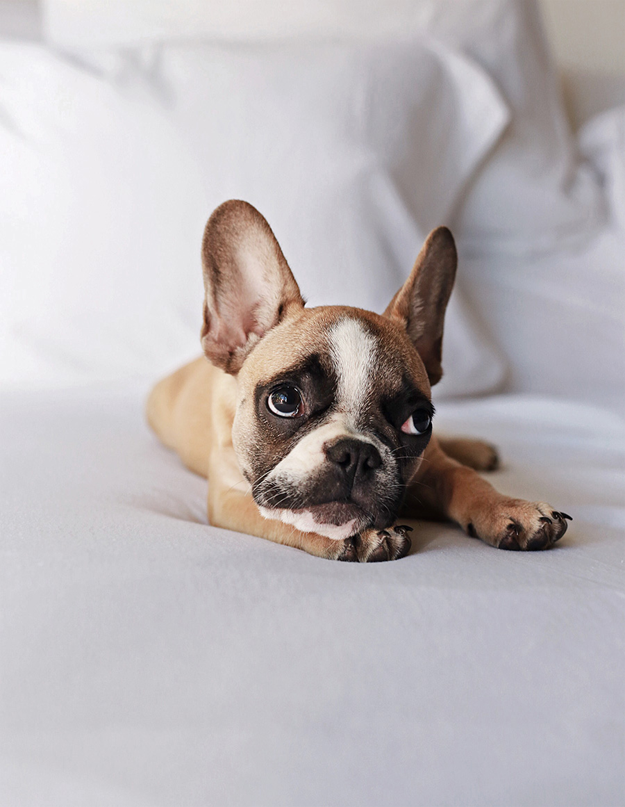 Frenchie Fawn 2