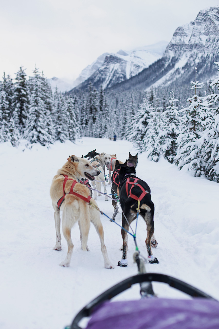 Dog Sledding the Great Divide