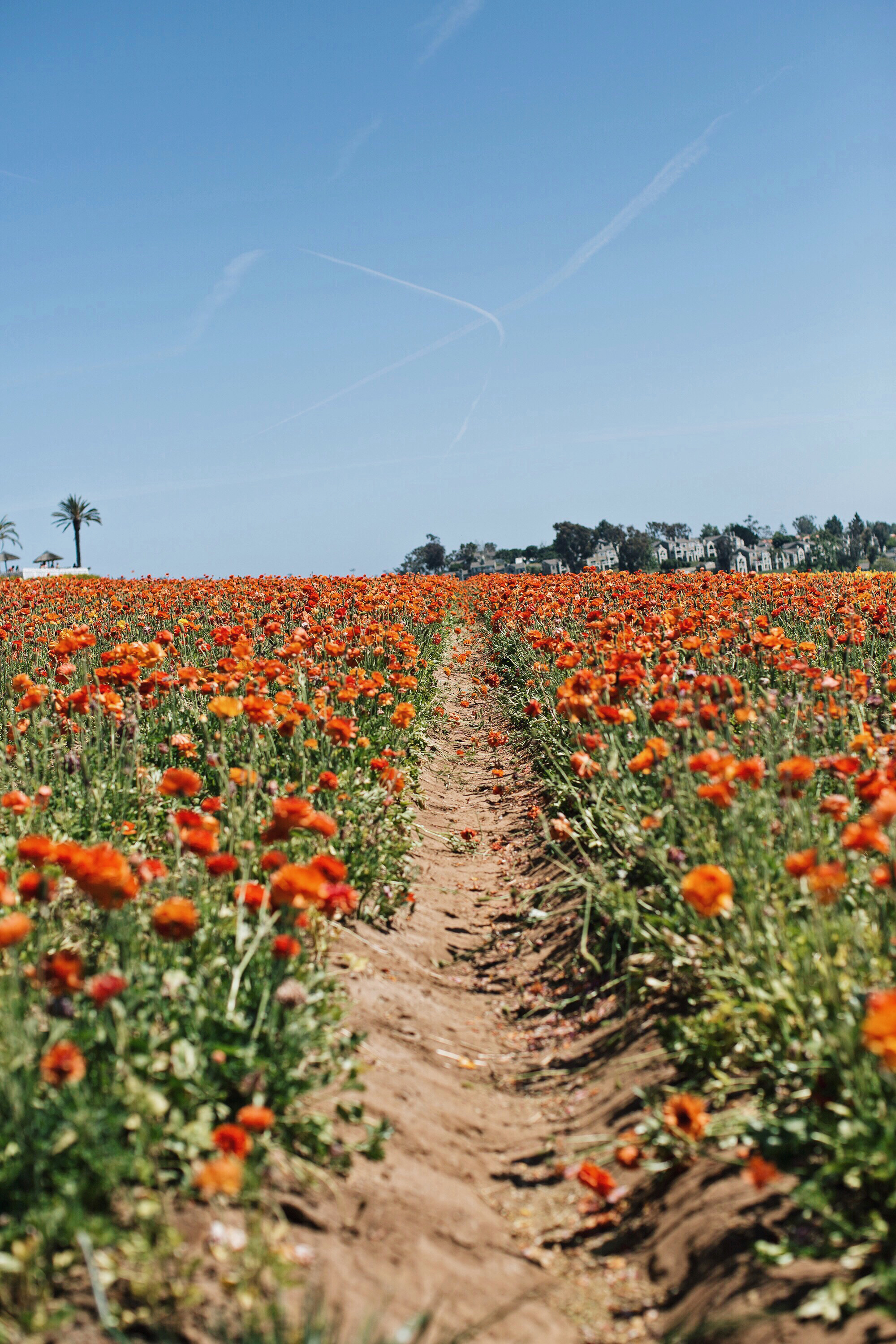 flower field in Carlsbad