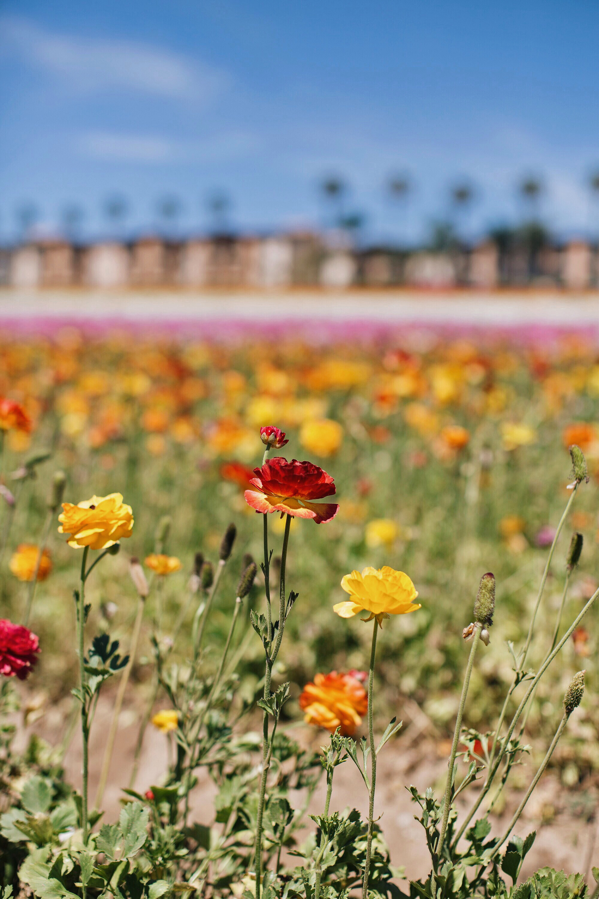 san diego flower fields